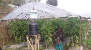 Sita, in front of her tunnel holding grown tomatos