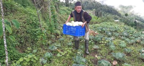 Farmer-ready-to-take-cabbage-to-the-market-for-selling