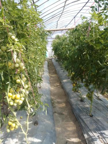 Tomatoes-grown-in-a-tunnel